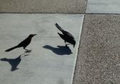 Puzzle oiseaux noir