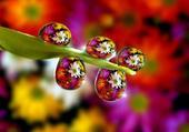 Gouttes fleurs