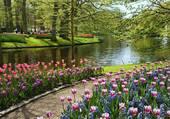 jolie tulipe