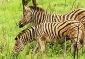 les zebres sont nombreux