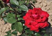 Rose de Montagny