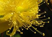 Jaune Flower