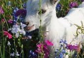 Puzzle petite chèvre