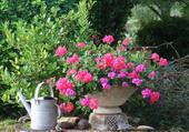 Géranium au jardin