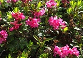 Puzzle RODODENDRON