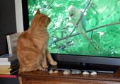 Tigrou regarde la télé