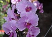 goutte de rosée sur l'orchidée