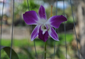 orchidée au coeur blanc