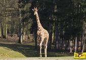 Puzzle maman girafe