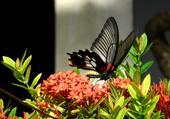 Papillon de Ko samet