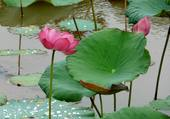 Lotus de Champassak