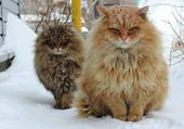 Puzzle de très beaux chats bien en poils