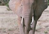 éléphante - Kenya