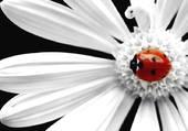 Puzzle Fleur coccinelle