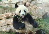 Puzzle panda du zoo de beauval