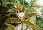 Orchidée Himalaya