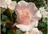 Roses par hel