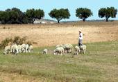 Puzzle Les moutons de Mascara