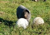 Le cochon et les boules