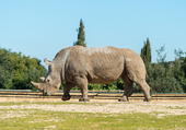 Rhinocéros au zoo de la Barben