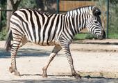 Zèbre au zoo de la Barben