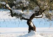 Olivier sous la neige