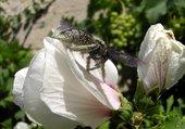 Altea et pollen