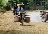 Le riz et la moisson