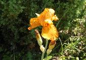 iris ambre