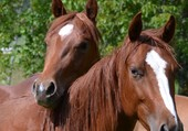 Demi frères quarter horses