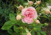 Puzzle Petite rose