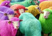 moutons colorés