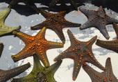 étoiles de mer - Zanzibar