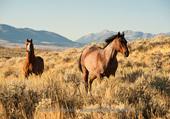 quarter horses au Montana