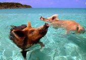 Puzzle pig swimming