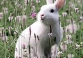 Puzzle lapin blanc