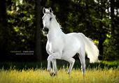 cheval gris