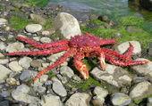 Puzzle le crabe  royal