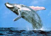 Puzzle Baleine