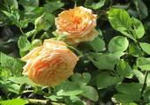 Puzzle roses saumon