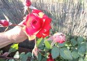 rose à l'aube