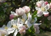 pommiers en fleur