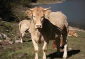 la vache !!!