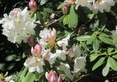 Puzzle blancheur rosée