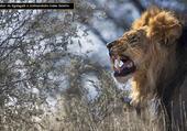LION GRINCHEUX