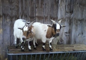 2 chèvres