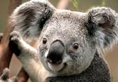 Puzzle koala d'austalie
