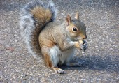 écureuil londonnien