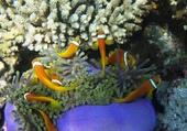 Puzzle poissons clowns