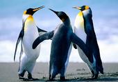 Puzzle tros mimi les pinguin